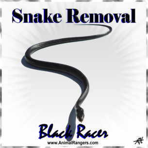 Miami, FL Black Snake Removal