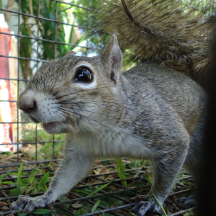 Palm Beach County, FL Humane Squirrel Trapping Services