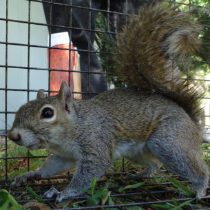 Palm Beach County, FL Squirrel Control Services