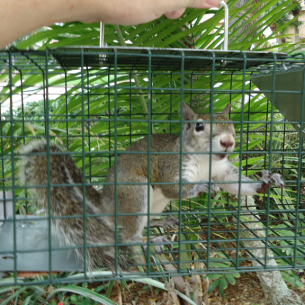 Palm Beach County, FL Squirrel Removal Services