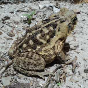 West Palm Beach, FL Cane Toad Removal Services