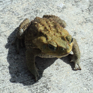 West Palm Beach, FL Cane Toad Control Services