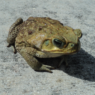 Get Rid of Toads - Fort Pierce, FL Wildlife Control