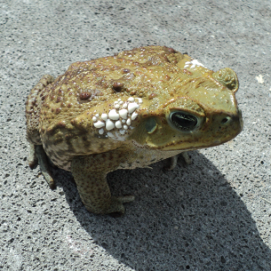 Fort Lauderdale, FL Poisonous Toad Removal Services