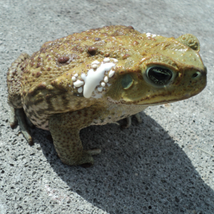 Fort Pierce, FL Cane Toad Removal and Control