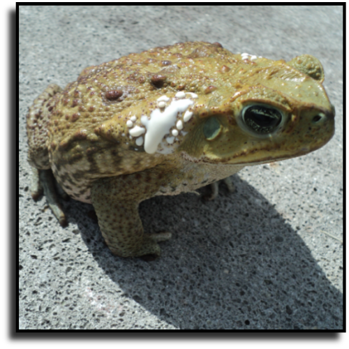 Port St. Lucie, FL Toad Control Service