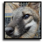 Florida - Nuisance Fox Trapping Service