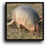 Miami Beach, FL Armadillo Removal