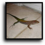 Miami Beach, FL Lizard Removal