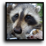 Pembroke Pines, FL Raccoon Removal