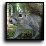 Boca Grande, FL Squirrel Removal