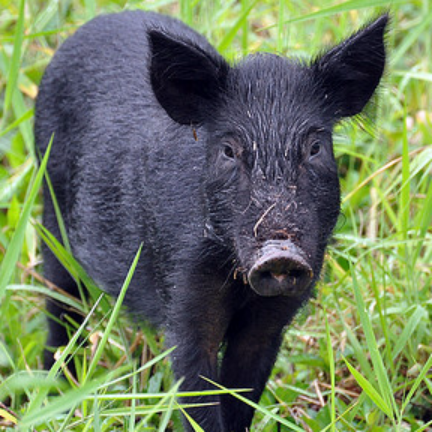 Animal Rangers, FL Wild Hog & Feral Pig Information - Florida Wildlife Control Services